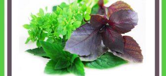 Fesleğen Doğanın Yeşil Mucize Bitkisi Nelere İyi Geliyor?
