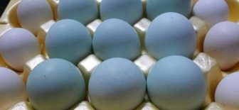 İşte Mavi Yumurtanın Faydaları Sağlıklı Yaşam İçin