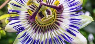 Passiflora Nedir? (Çarkıfelek Çiçeği Faydaları Nedir)