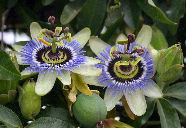 Passiflora nedir