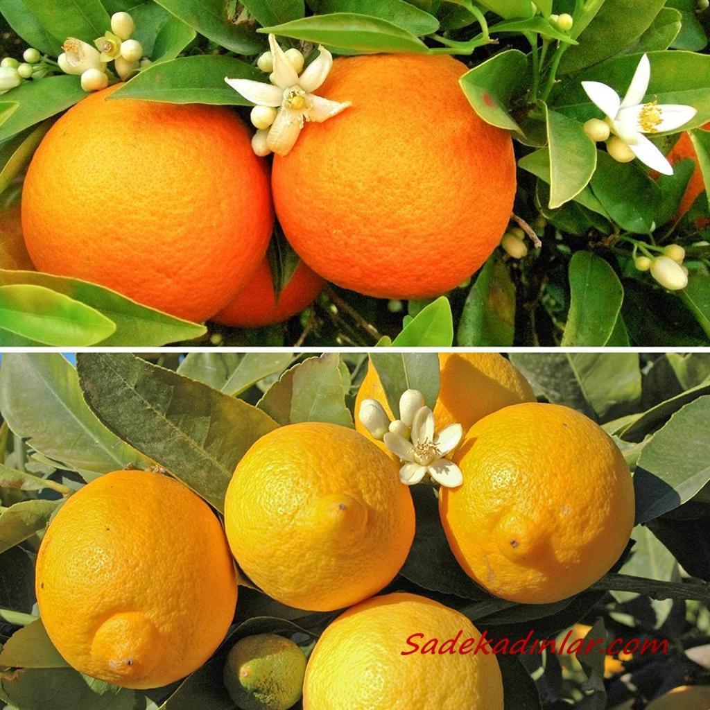 Portakal ve limon